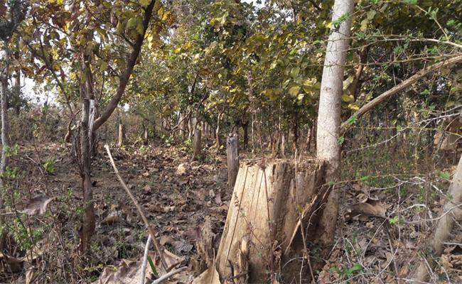Failure Of Forest Authorities To Protect Forest - Sakshi