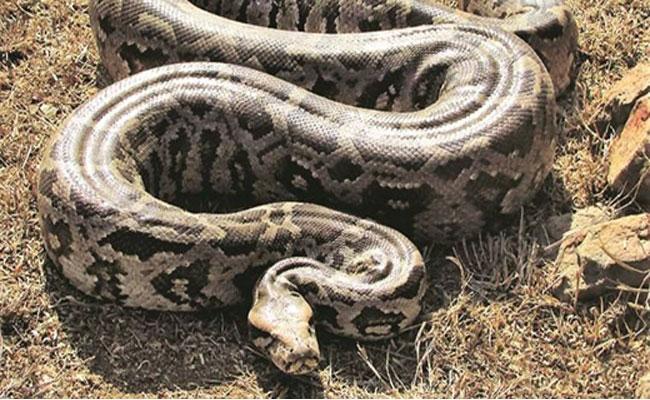 Case Against Four Men For Burning Python In Gujarat - Sakshi