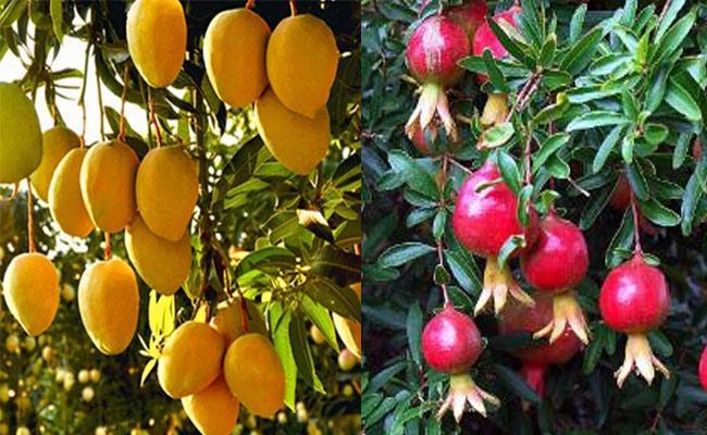 Horticultural Crops Growing In Rayalaseema - Sakshi