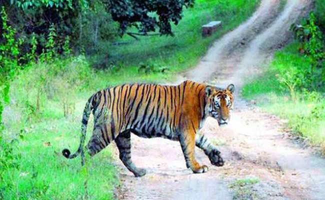 Tiger Wandering In Mancherial District - Sakshi