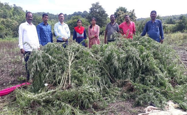 Officers Destroyed Marijuana Crop in Nizamabad District - Sakshi