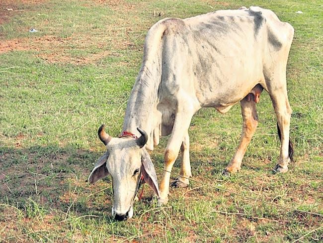 Factors affecting the health of dairy cattle - Sakshi