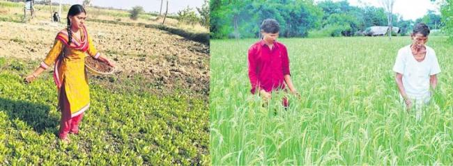 Natural farming of Mysore Mallige A unique paddy variety - Sakshi