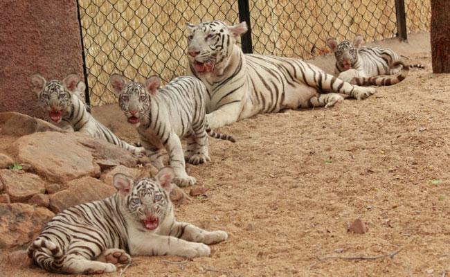 Balineni Srinivasa Reddy Attends Naming Ceremony Of White Baby Tigers Tirupati - Sakshi
