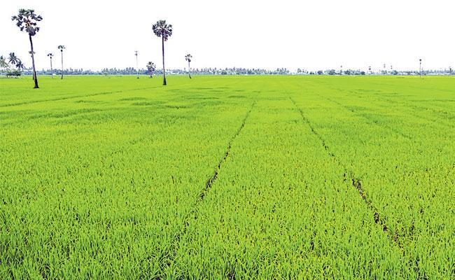 Paddy Cultivation Under Irrigation Project At Record Levels In Kharif In AP - Sakshi