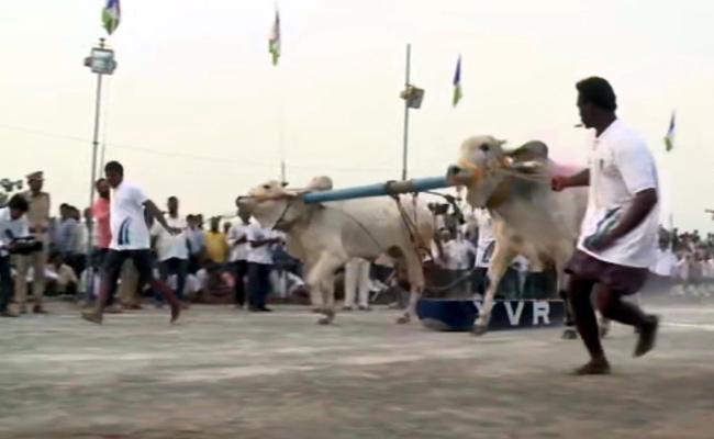 Ongole Bull Competition Started In Gannavaram - Sakshi