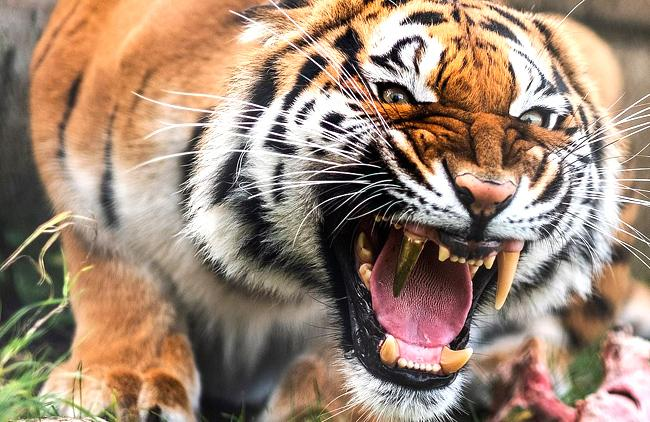 Bengal Tiger Fitted With Golden Fang - Sakshi