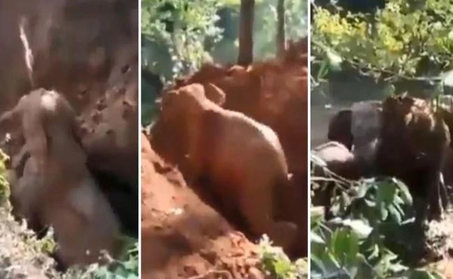 Baby Elephant Rescued From Ditch Mother Returns To Thank Helpers - Sakshi