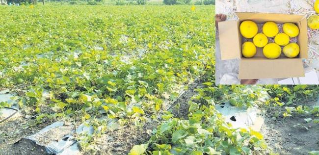 Canary Melon fruit cultivation in big profits - Sakshi