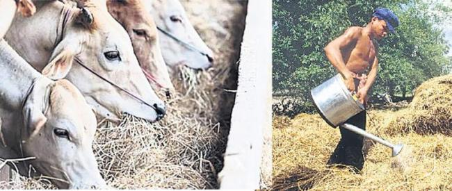 Fodder gras cattle grazing in milk yield - Sakshi