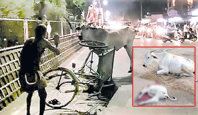 Cow Attacks Rickshaw Puller in Machilipatnam - Sakshi