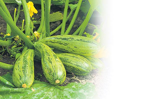 Nethi Luffa Is Very Good For Health - Sakshi
