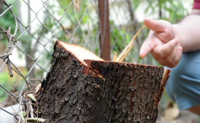 Thieves Chopped Off Sandalwood Trees From the Premises of Judge Bunglow - Sakshi