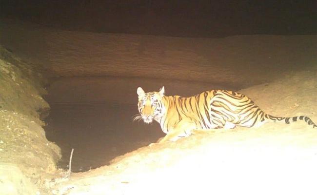 Tiger wandering In Chennur In Adilabad - Sakshi
