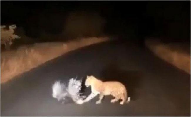Leopard Vs Porcupine Deadly Battle Video Goes Viral On Social Media - Sakshi