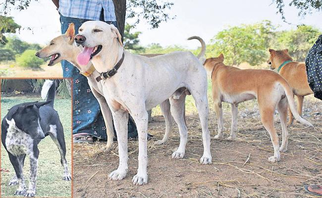 Special Story On Kurnool District Pandikona Dogs - Sakshi