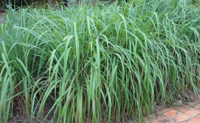 Plants To Prevent Dangerous Mosquitoes - Sakshi