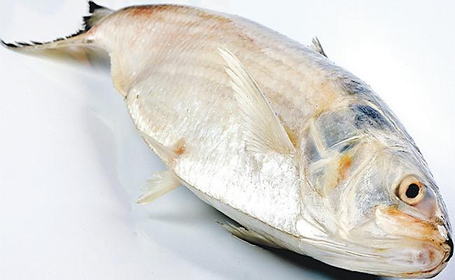 Pulasa Fish on the threat stage - Sakshi