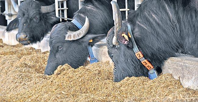 cattle need to be protected from disease In winter - Sakshi