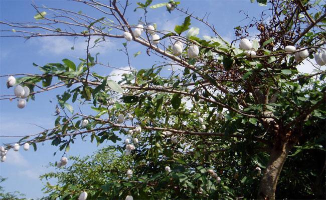 Silk Industry In Chennur Famous In Telangana - Sakshi