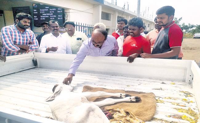 Prajavani responds about Calf  - Sakshi