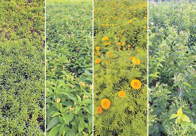 Floriculture Flourish in Amaravati Region - Sakshi