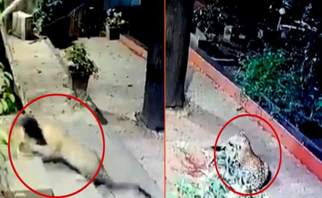 Leopard Attacks Stray Dog In Andheri - Sakshi