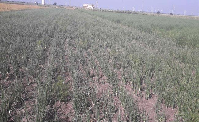 Onion Farmers Get More Profit In Kurnool District - Sakshi