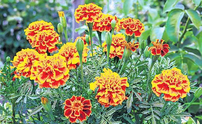 We Use Banthi Flowers For Every Festival - Sakshi