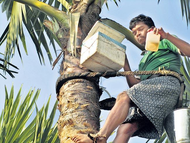 A palm jaggery made of palm neera - Sakshi