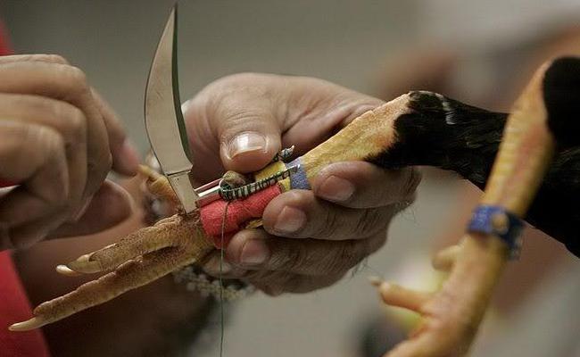 Police Have Seized a Large Number of Chicken Swords - Sakshi