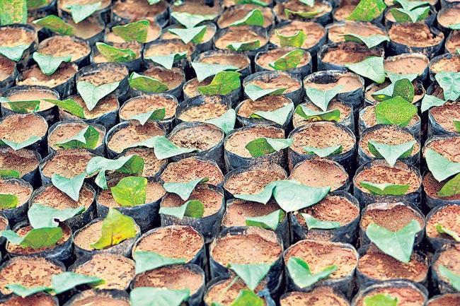 Leaves planted in Rajaratnam Nursery - Sakshi