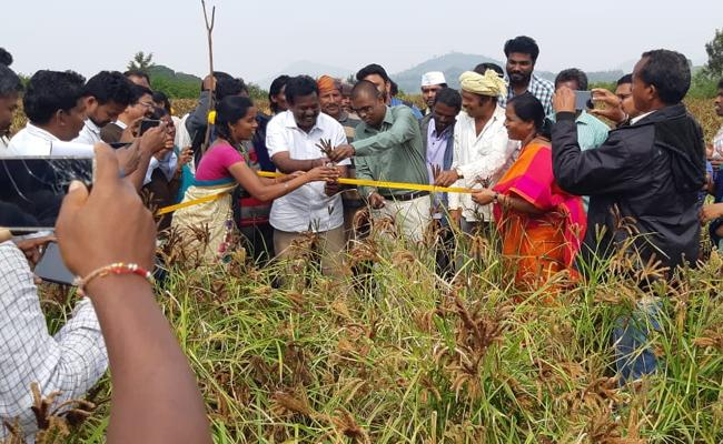 Record Level Yield In Ragulu Crop Cultivation In Visakha Agency - Sakshi