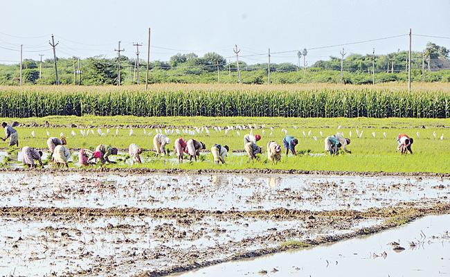 Cultivation in Rayalaseema with heavy rains - Sakshi