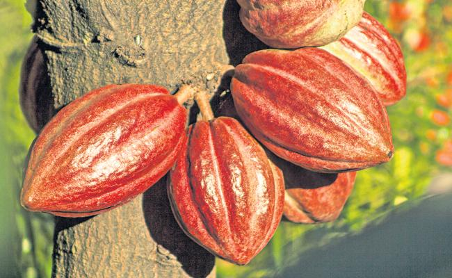 Coco Cultivated on 57000 acres in the state - Sakshi