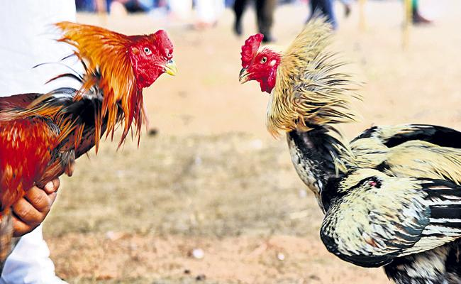 Arrangements in the Godavari districts for the sankranti Cock Fighting Bets - Sakshi