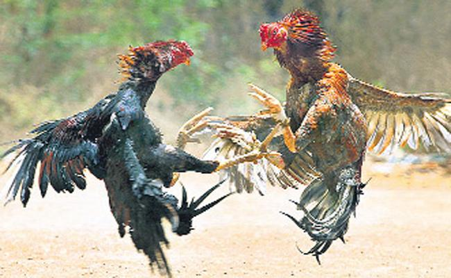 Police Focus On Cock Fights In the Godavari districts - Sakshi