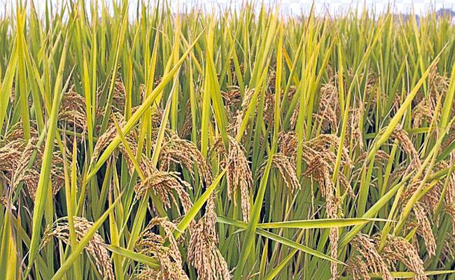 Rice yield in Kharif  is above 78 lakh tonnes - Sakshi