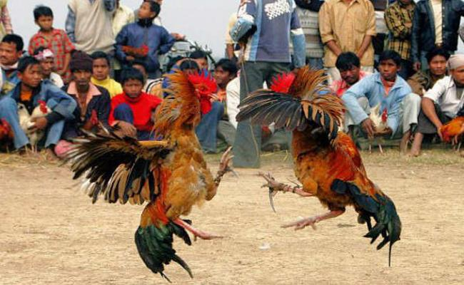 Khammam Farmers Ready For Hen Fights in Andhra Border - Sakshi