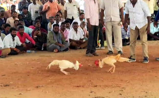 Third Day Continues Cock Fight In West Godavari - Sakshi