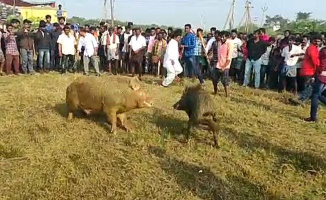 Pig Fight Competition In West Godavari - Sakshi
