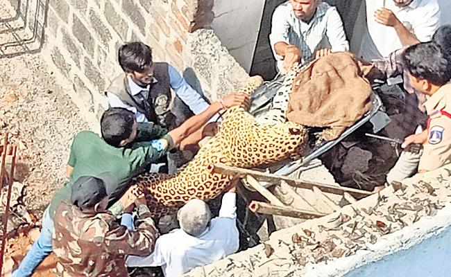 Leopard Halchal At Shadnagar Rangareddy District - Sakshi