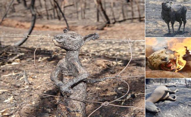 Sanjay Shankar Article On Australian Bushfires - Sakshi