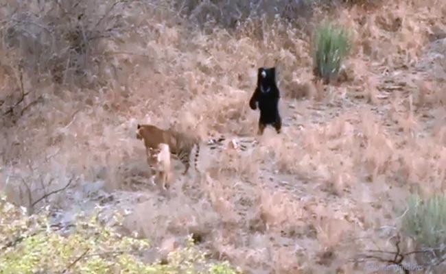 Sloth Bear Chases Away 2 Tigers At Ranthambore National park - Sakshi