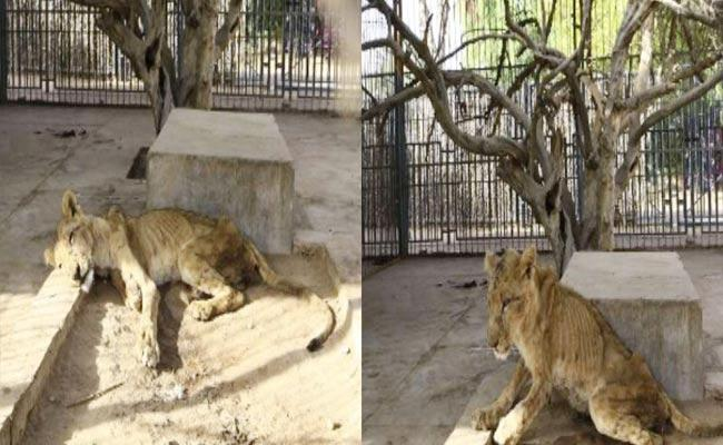 Heart Breaking Sudan Zoo Park Lions Photos Goes Viral - Sakshi
