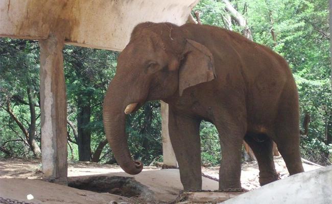 Elephant Krishna Strange Behave in Visakhapatnam Zoopark - Sakshi