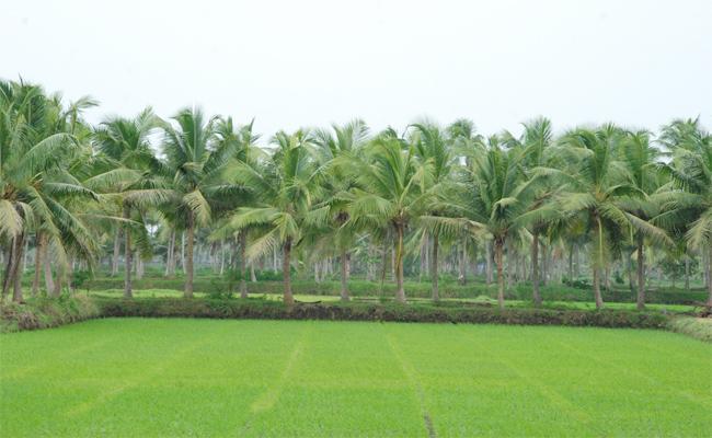 Coconut Crop Farmers Loss With Aqua Effect - Sakshi