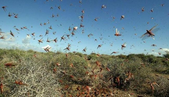 Locust attack in Rajasthan sets alarm bells ringing in Punjab - Sakshi