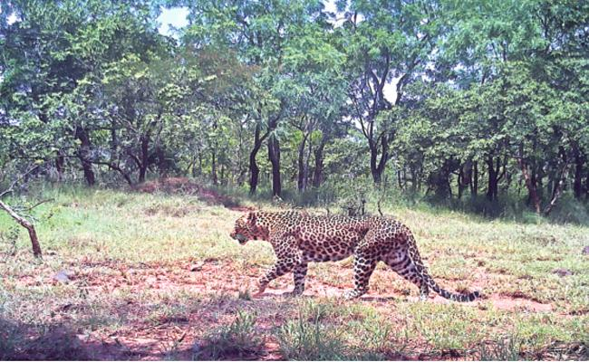 Leopards Caught in CC Camera Prakasam Nallamala Forest - Sakshi