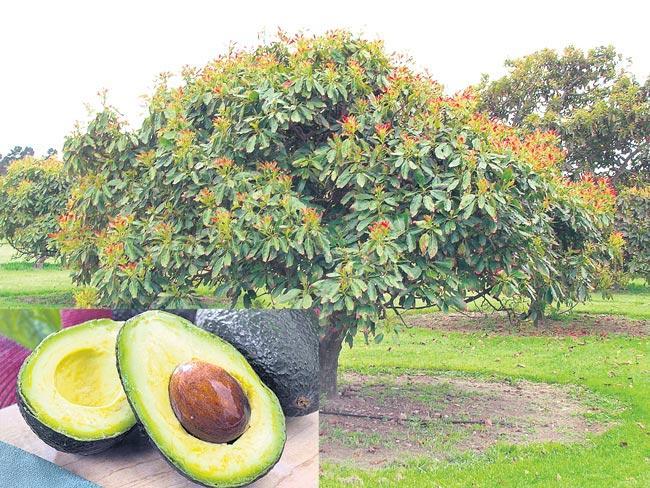 Avocado Fruit Farming Information  - Sakshi
